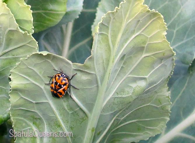Harlequin Cabbage Beetle